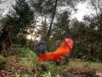 rooster_original_HDR
