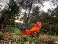 rooster_original_HDR