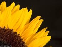 2007-05_sunflower_002