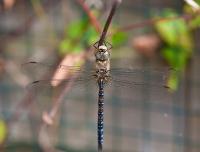 DragonflyAug2010-006