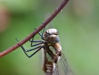 DragonflyAug2010-018